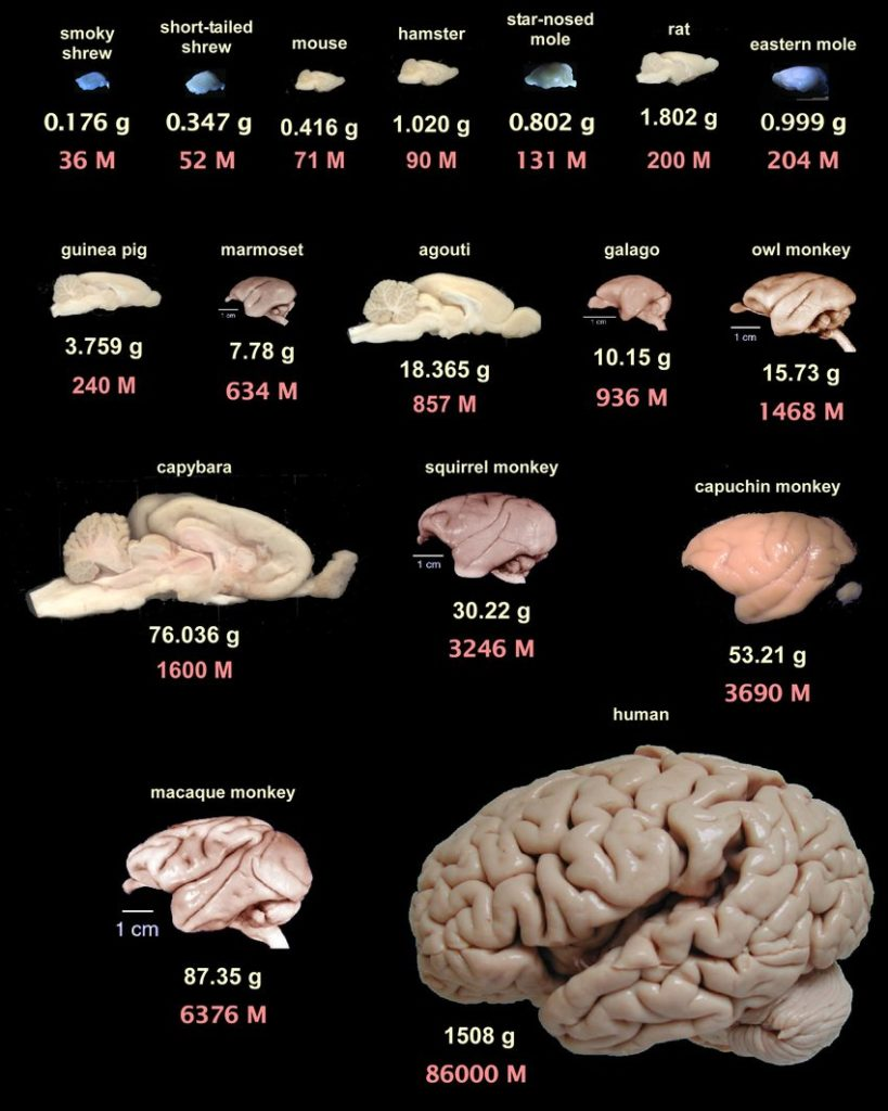 Human Brains compared to other animals
